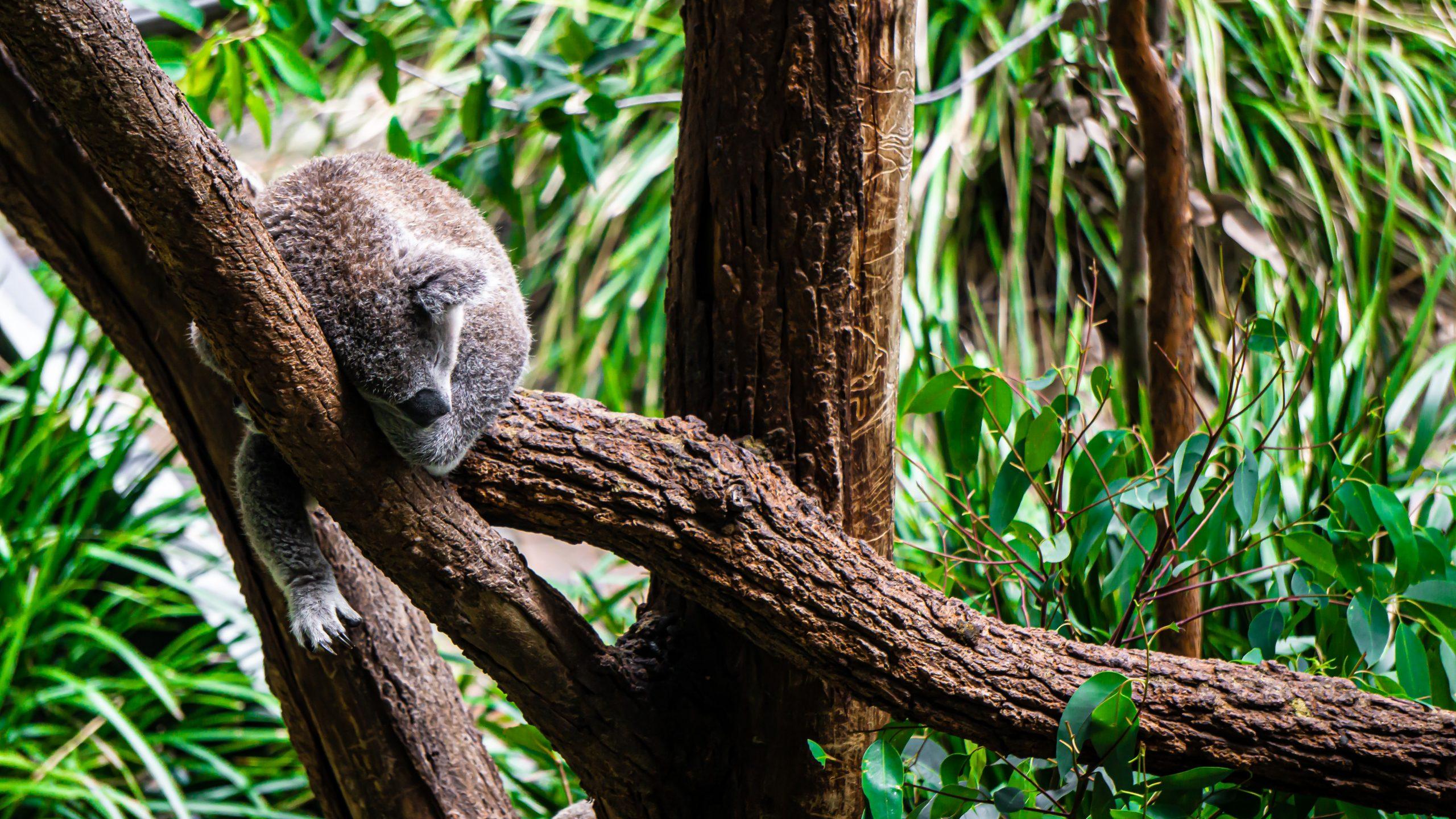 Bei Pausen fühlen wir uns schnell faul. (Bild zeig schlafenden Koalabär auf Ast liegend.)